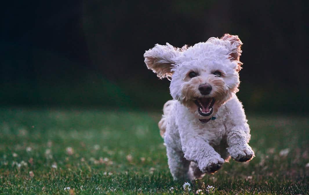 bischon frise running on grass